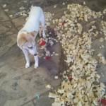 Dog looking at mess- Bandit- Renee
