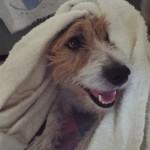 Dog under blanket- Marley- Heather Craig