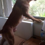 Orby looking out window- Mel Campbell